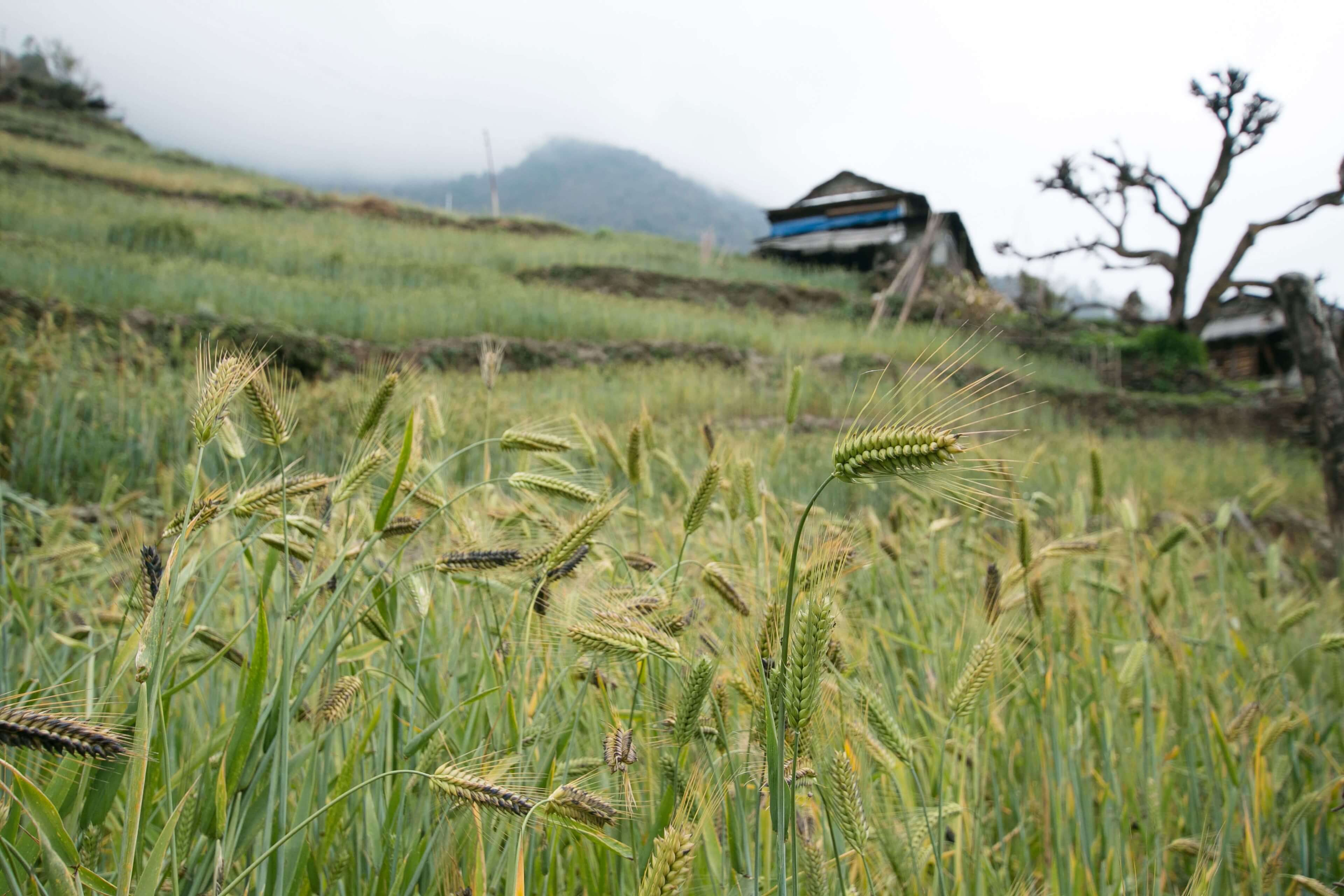 Terraced Corn Fields