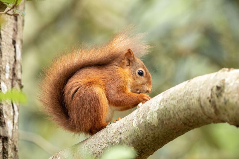 Brownsea Island Squirrel